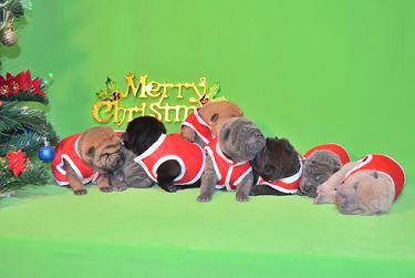 8匹のシャーペイの仔犬、 写真は生後9日目、12月20日2012年、 シャーペイ仔犬 (24)