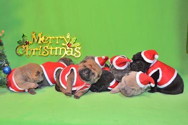 8匹のシャーペイの仔犬、 写真は生後9日目、12月20日2012年、 シャーペイ仔犬 (25)