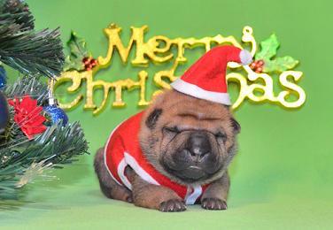 毛色 セーブル 、 7の女の子、 写真は生後9日目、12月20日2012年、 シャーペイ仔犬 (39)
