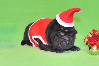 毛色ブラック  、 1の女の子、 写真は生後9日目、12月20日2012年、 シャーペイ仔犬 (31)