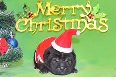 毛色ブラック  、 6の女の子、 写真は生後9日目、12月20日2012年、 シャーペイ仔犬(37)