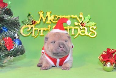 毛色ライラック  、 8の 男の子、 写真は生後9日目、12月20日2012年、 シャーペイ仔犬  (30)