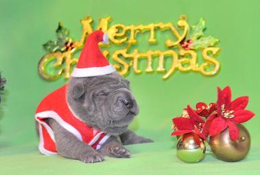 毛色ブルー  、 5の女の子、 写真は生後9日目、12月20日2012年、 シャーペイ仔犬 (32)