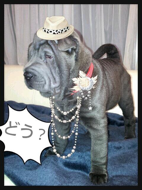 シャーペイ 子犬 販売 ブサカワ 子犬販売 Shar-Pei baby sale