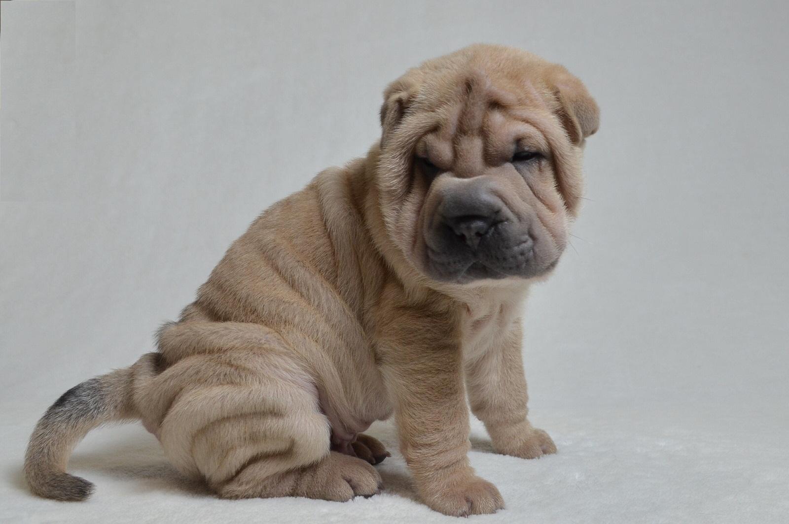 シャーペイ子犬
