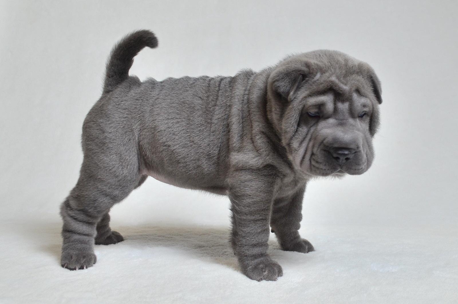 ブルー シャーペイ子犬