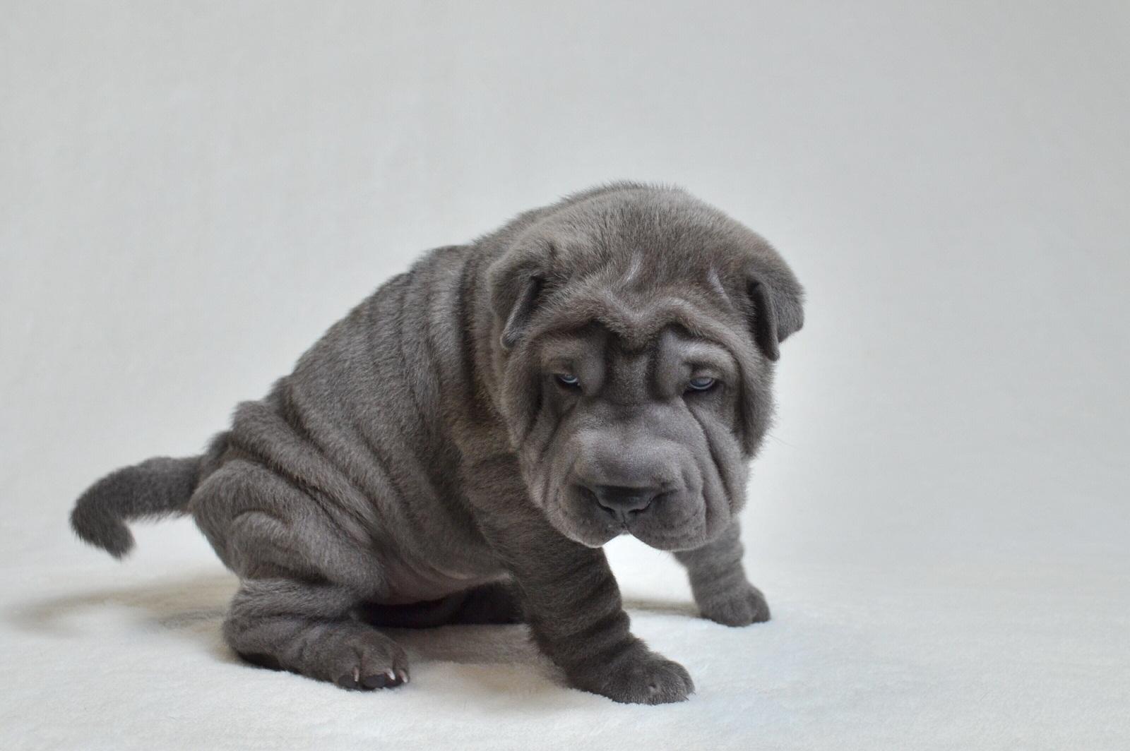 ブルー シャーペイ子犬 Blue Shar-pei baby