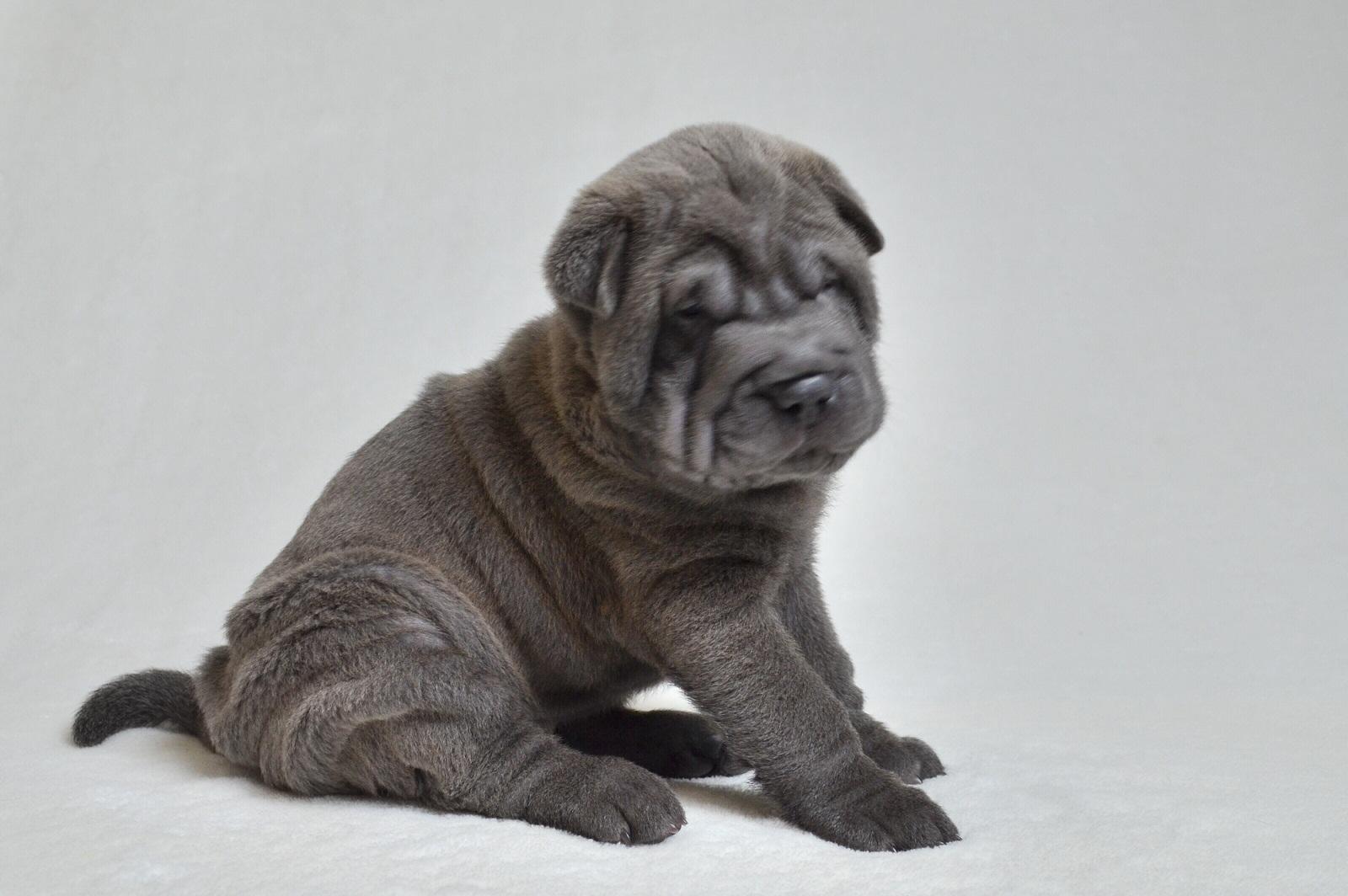 Blue Shar-pei baby ブルー シャーペイ子犬