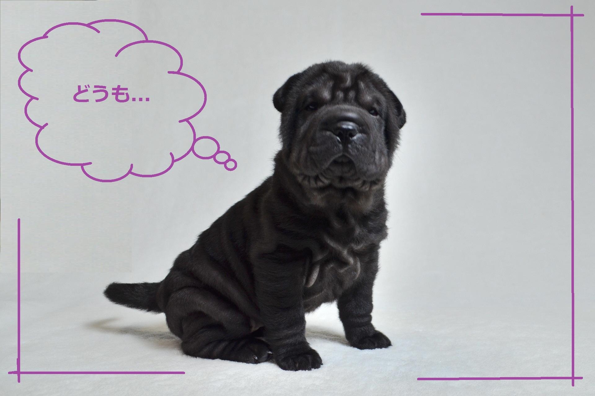 シャーペイ仔犬 Shar-Pei baby