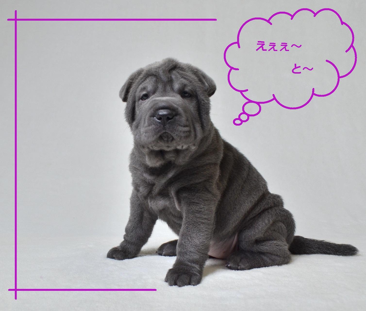 3 シャーペイ仔犬 Shar-Pei baby