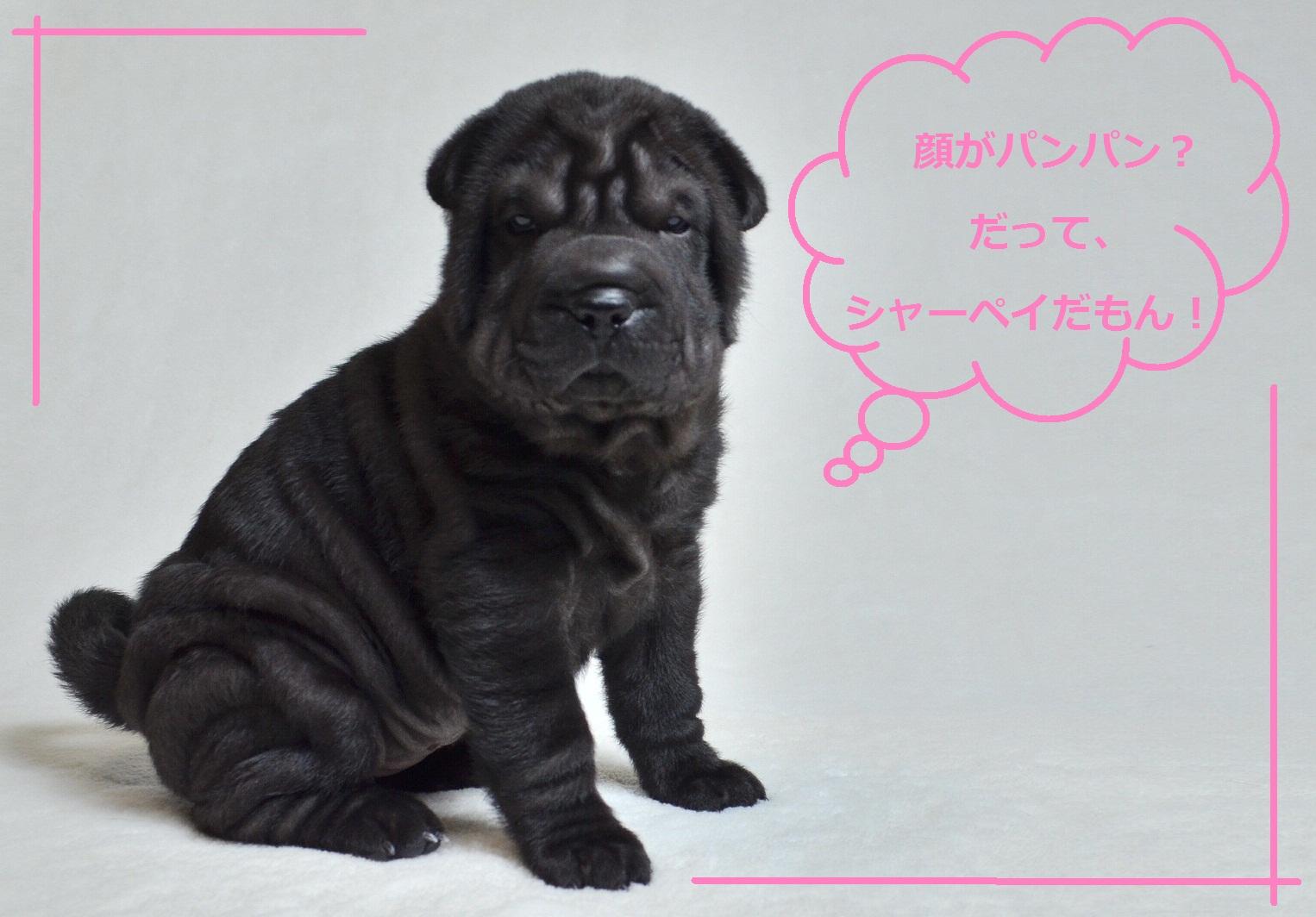 6 シャーペイ仔犬 Shar-Pei baby
