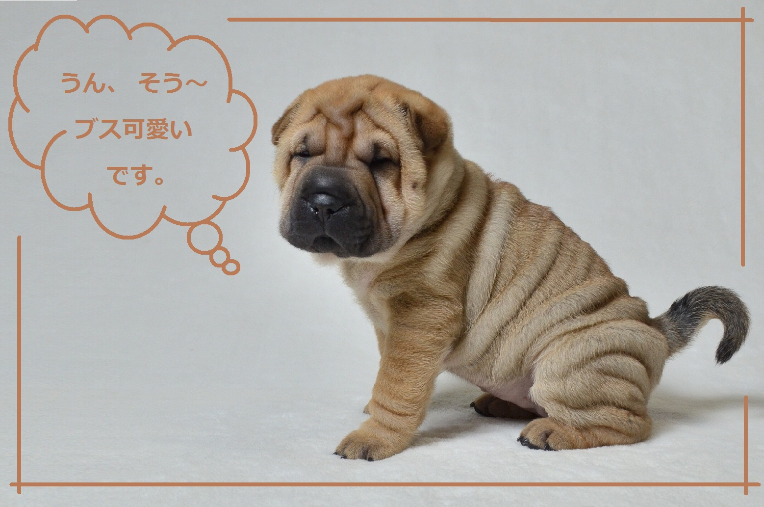 7 可愛い仔犬 Shar-Pei