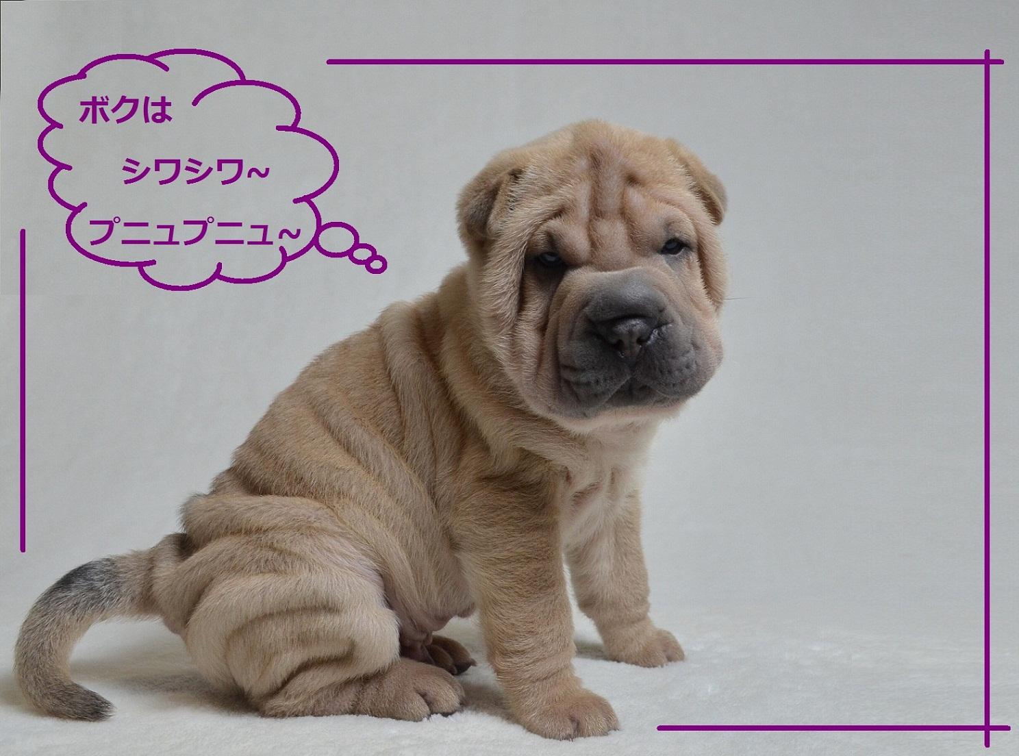 8 可愛い仔犬 Shar-Pei