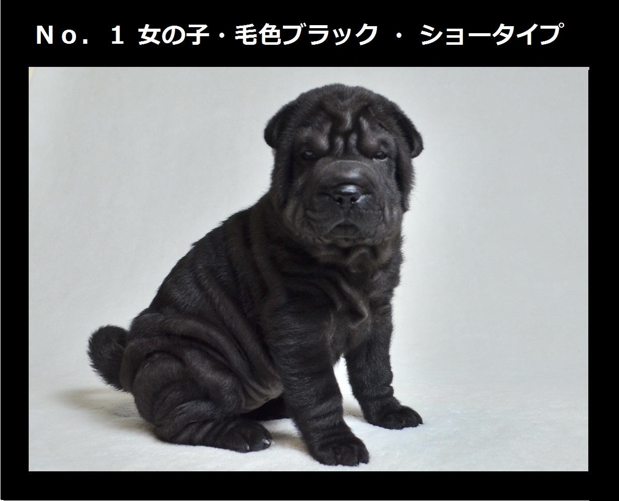 1可愛いシャーペイ仔犬 Shar-Pei