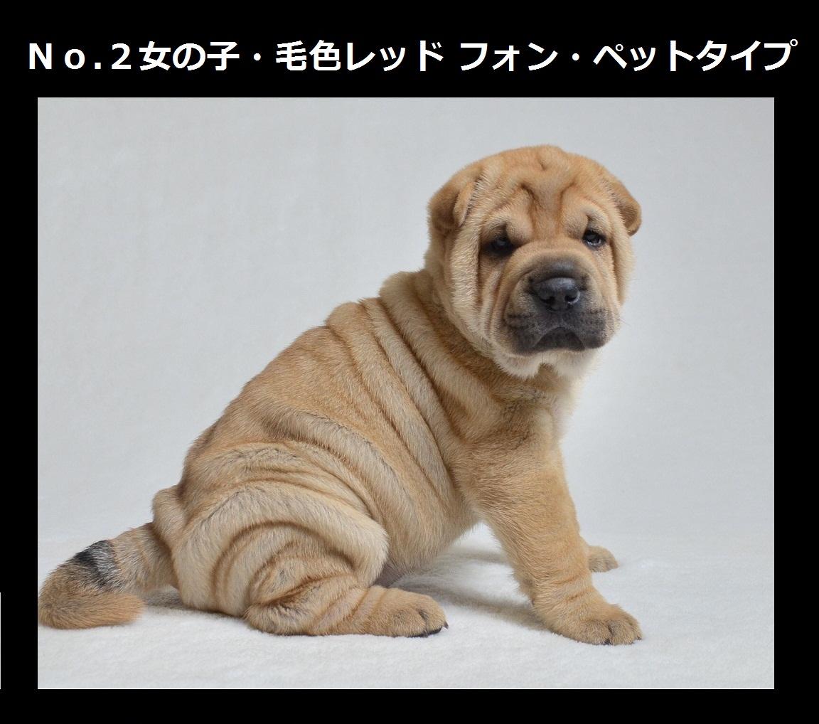 3可愛いシャーペイ仔犬 Shar-Pei