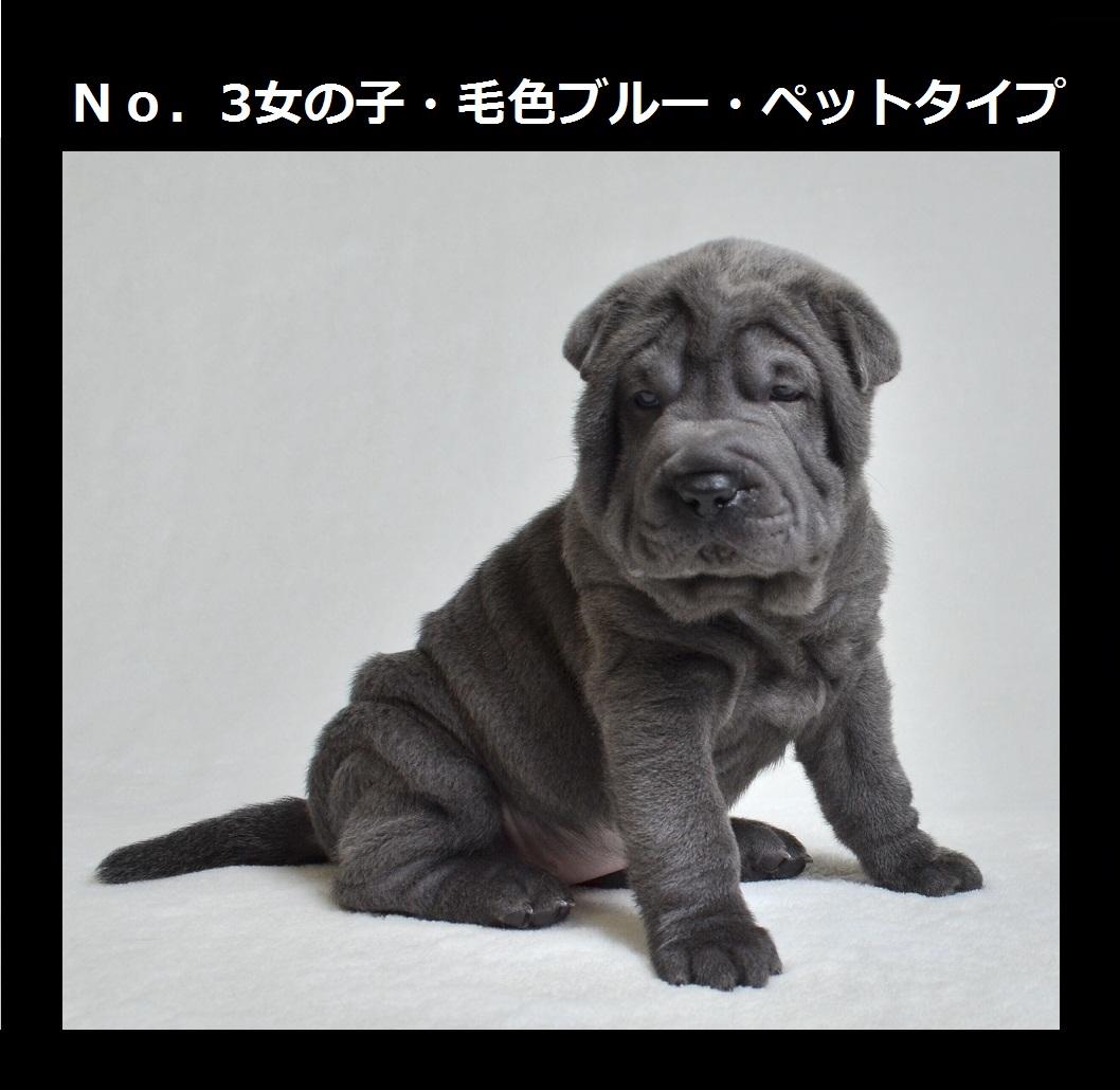 4可愛いシャーペイ仔犬 Shar-Pei