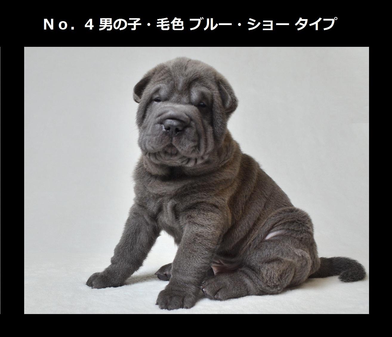 5可愛いシャーペイ仔犬 Shar-Pei