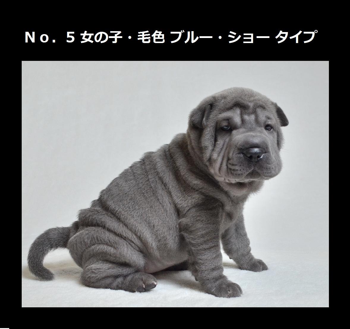 可愛いシャーペイ仔犬 Shar-Pei