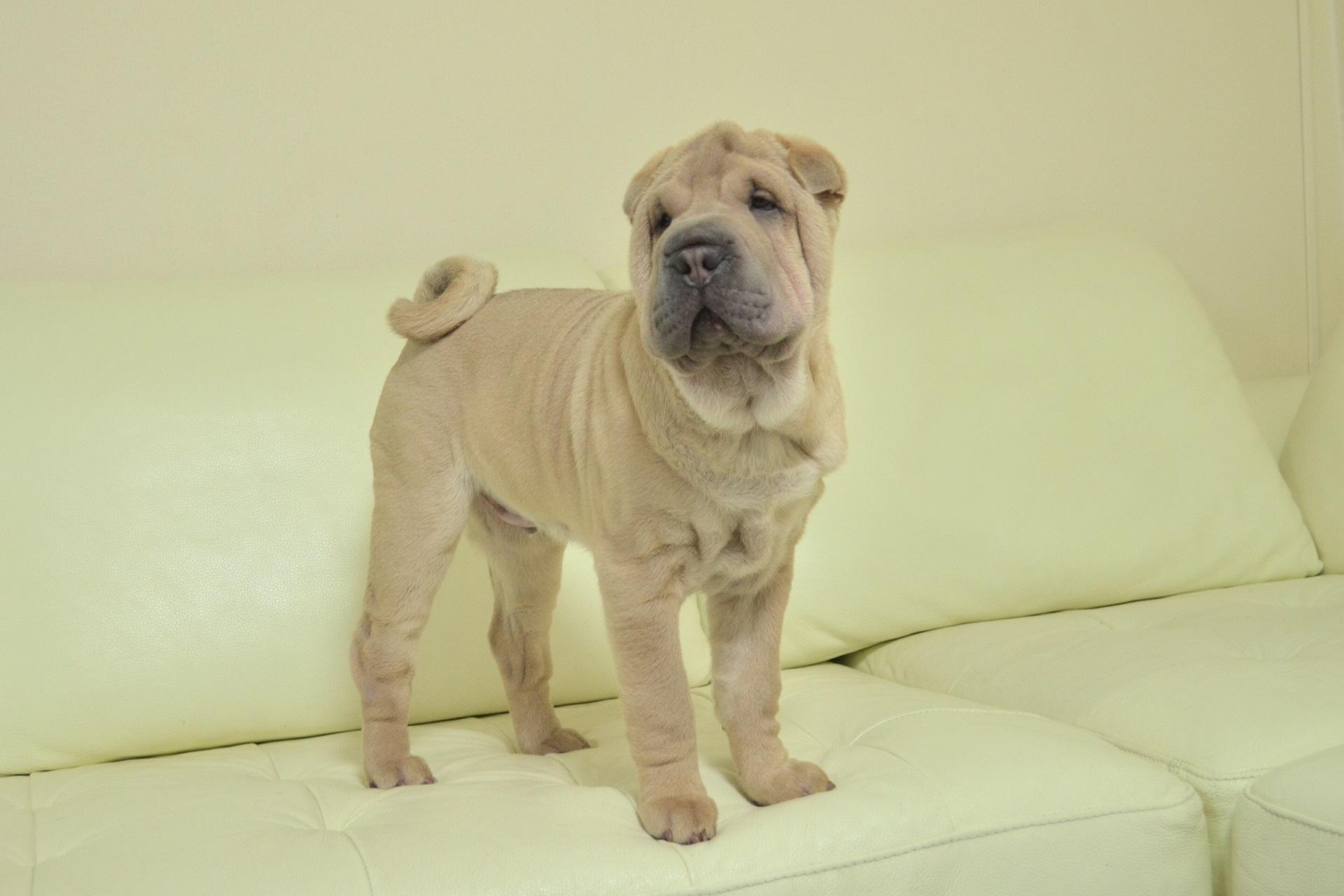 シャーペイ 子犬 販売 ブサカワ