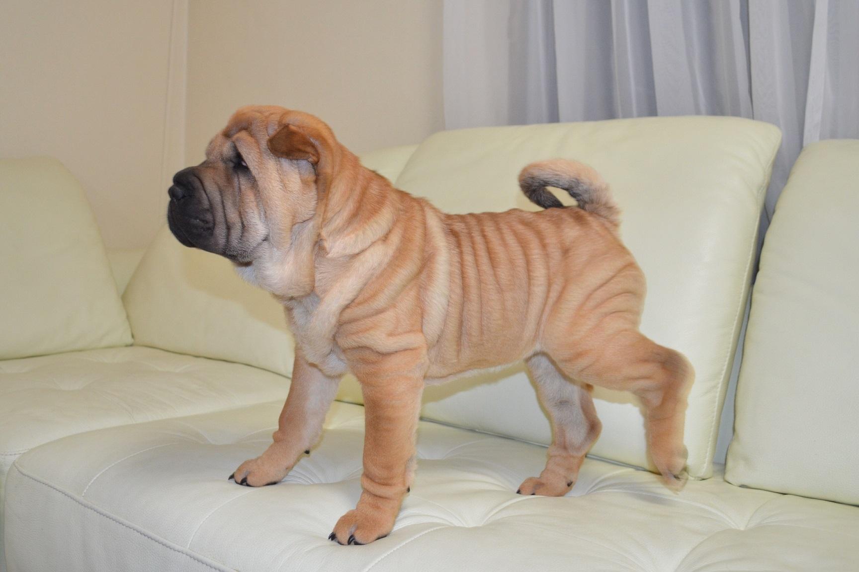 シャーペイ 子犬 販売 ブサカワ Shar-pei baby
