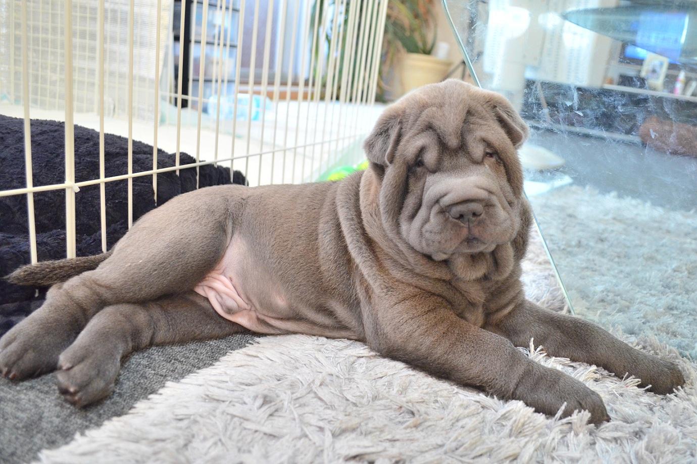 4 シャーペイ 子犬 Shar Pei baby
