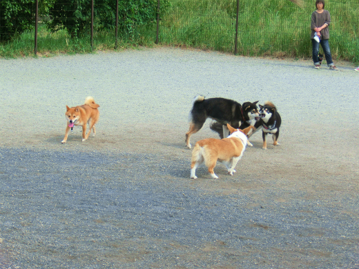 柴犬いっぱい