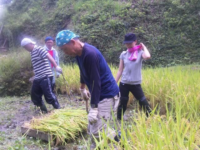 2012稲刈り④