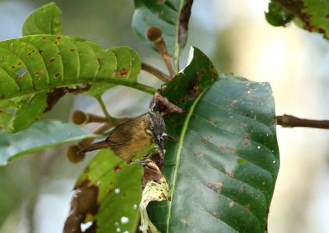 ハイノドモリチメドリ1