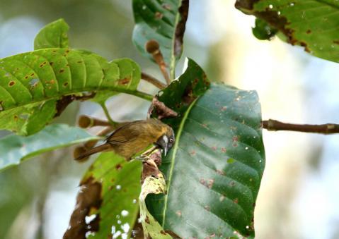 ハイノドモリチメドリ2