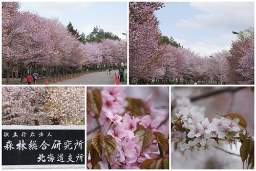 桜の葉がー!桜餅?!