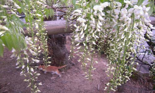 藤の花とニャアちゃん