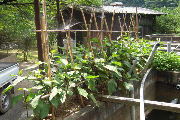 水槽のそばの茄子