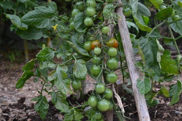ミニトマトがたくさん