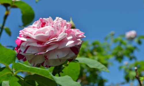 薔薇 と 青い空