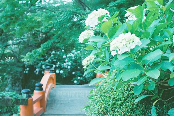 shio_紫陽花+橋