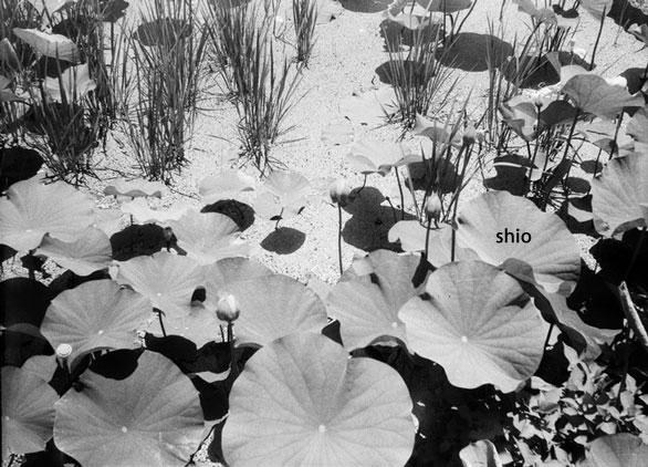 shio_スメ8蓮