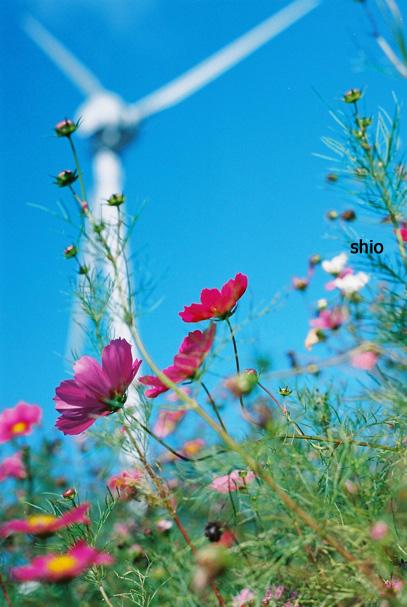 shio_コスモスと風車b