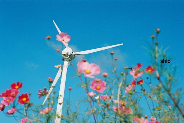 shio_コスモスと風車