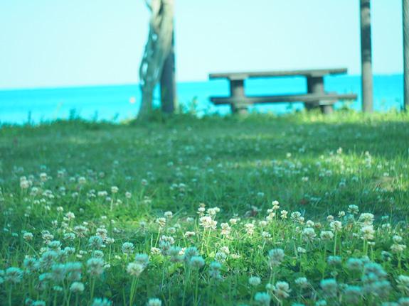 shio_海岸、シロツメクサ