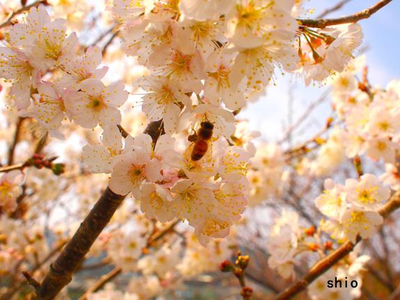 shio_sakura.jpg