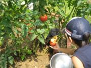 お隣のトマト 収獲