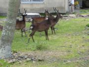 鹿島 海水浴 野生の鹿