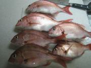 夫の釣果 真鯛6匹