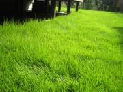 伸びきった芝