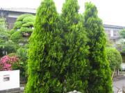 木の剪定 ビフォー