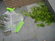 木の剪定 塵取り