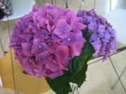 隣りの紫陽花