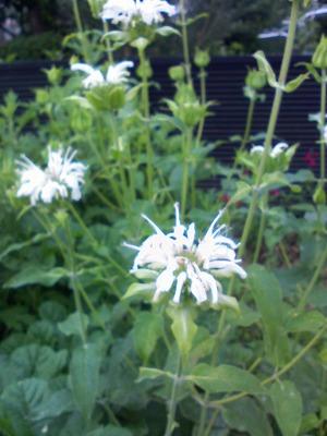 ベルガモットの白い花