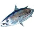 siromi魚