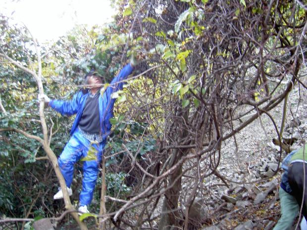 木に登ってシマサルナシの実を採取